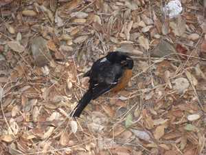 Sad robin